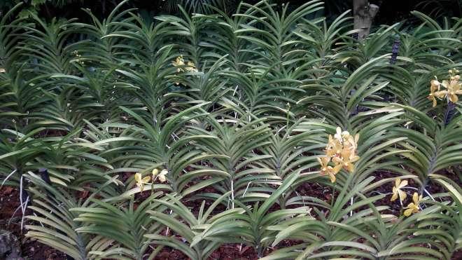 Ogród Orchidei Kwitną niektóre orchidee, ale liście tworzą powtarzalny ciąg