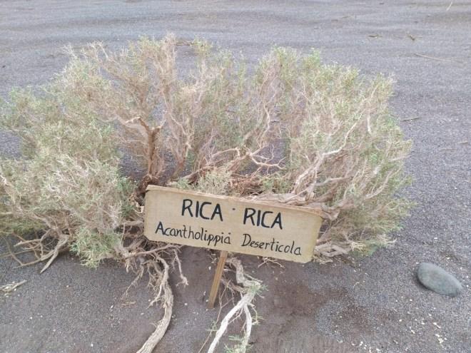 Rica Rica Acantholippia Deserticola